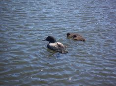 Loon and her two babes on Eagle Lake - just some of the wildlife you will see on your trip to Sunset Country