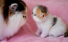 """""""One day little Anya you will grow up, and become big and strong like me!""""~Ivanka Central Park Cattery"""