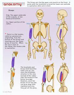 Drawsh: Biceps