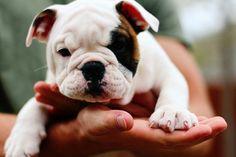 cutest puppy ever #bulldog