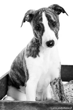 ~ Whippet puppy ~ black and white~