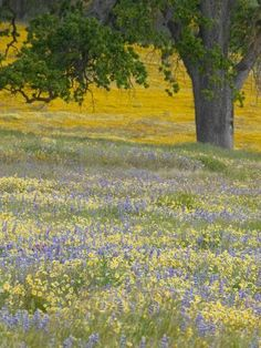 size: Photographic Print: Lone Oak and Spring Wildflowers, San Luis Obispo County, California, USA by Terry Eggers : Artists Spring Photography, Floral Photography, Landscape Photography, Nature Photography, California Wildflowers, Spring Wildflowers, Spring Scenery, Spring Nature, Spring Images