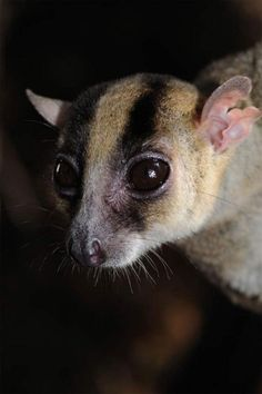 rhamphotheca:  Recently Discovered Lemur Scientists reported in...