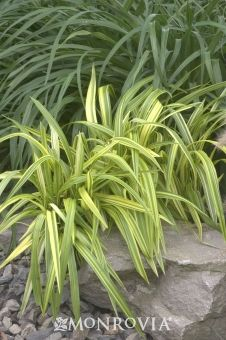 Gold Stripe Flax Lily (Dianella tasmanica 'Yellow Stripe')  for sun.