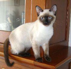 NOKA Chat style Siamois, mâle castré et pucé, 11 mois. Très affectueux  Perdu le 14/4/2012 à Alsemberg
