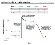 Action potential of cardiac muscles