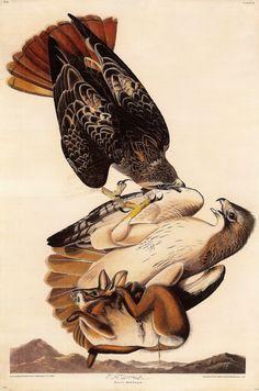 from 'the birds of america', vol. 1 1827. audubon.