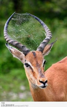 Spider web in an Impala's horns and face! Did it walk through it? Or did the spider make its web there? Spider web in an Impala's horns and face! Did it walk through it? Or did the spider make its web there? Nature Animals, Animals And Pets, Funny Animals, Cute Animals, Animals With Horns, Wild Animals, Baby Animals, Funny Animal Photos, Animal Pictures