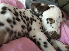 Baby Dalmatiner Mailo