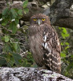 Source: Flickr / czechconroy  #brown fish owl