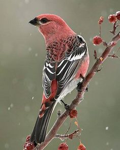 Pine Grosbeak (Pinicola enucleator). A large finch found in coniferous woods across the western mountains of the US, Canada, Scandinavia, and Siberia.