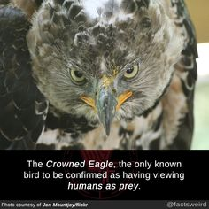 The Crowned Eagle, the only known bird to be confirmed as having viewing humans as prey. Amazing Science Facts, Wtf Fun Facts, Crazy Facts, Crazy Animal Facts, Random Facts, Amazing Facts, Funny Facts, Beautiful Birds, Animals Beautiful