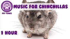 Relaxing Music For Chinchillas