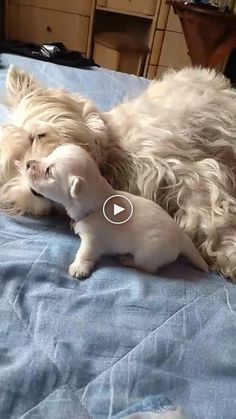 Source by Tomlypets The post funny dogs appeared first on Stubbs Training. Funny Dog Captions, Funny Dog Memes, Funny Dog Pictures, Funny Animal Videos, Funny Dogs, Funny Animals, Cute Animals, Havanese Puppies For Sale, Havanese Dogs