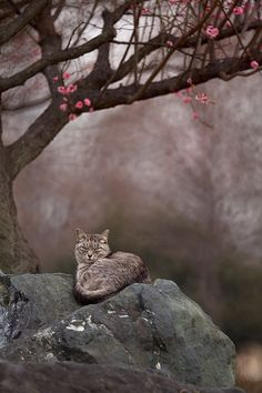 A cat and plum trees in Japan