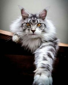 When it comes to Maine Coon Vs Norwegian Forest Cat both can make good pets but have some traits and characteristics that are different from each other Beautiful Cat Breeds, Beautiful Cats, Animals Beautiful, Cute Animals, Animals Images, Beautiful Gorgeous, Baby Animals, Funny Animals, I Love Cats