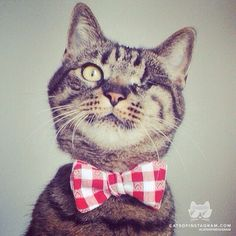 """From @catherine gruntman bischoff: """"Hi, I'm Max. I recently lost my eye due to a tumor, but I'm a healthy and happy kitty now! I love wearing bow ties and actually co-own a bow tie company. Please visit www.catinberlin.com and follow us on Facebook."""""""