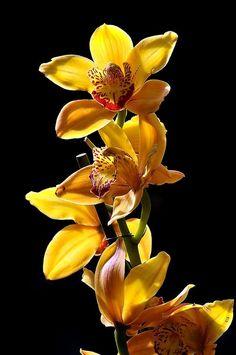 Cymbidium Orquídeas !!!!! Cymbidium flor orquídea durante o inverno, e cada planta pode ter até quinze ou mais flores. A fantástica variedade de cores para este gênero incluem o branco, verde, amarelo-verde, creme, amarelo, marrom, rosa e vermelho e pode haver marcas de outros tons de cores ao mesmo tempo, mas não azul e preto. As flores duram cerca de dez semanas. Eles têm uma textura de cera.