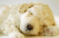 Características de la Raza Poodle o Caniche