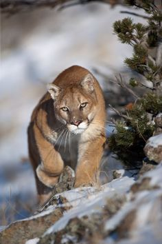 Mountain lion - This creature has many different names. For example; Puma, Mountain lion, cougar, panther, and catamount.