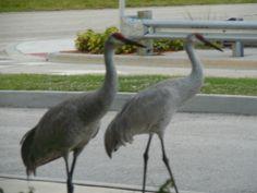 Cranes were just walking around outside a restaurant