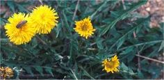 Medicinal Uses of Dandelion;  make use of these little wonders after extracting them from your yard!