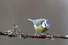 Kuvahaun tulos haulle sinitiainen kuva