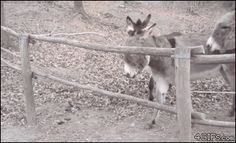 "4gifs: ""Clever donkey helps his friends escape. [video] """