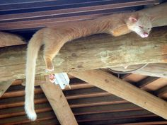 albino Palm civet