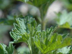 Plocka primörer direkt från naturens skafferi. Nässelsoppa är både gott, nyttigt och enkelt att göra. Lchf, Natural Remedies, Flora, Food And Drink, Delicate, Herbs, Cooking, Simple, Health