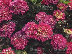 Floral Immersion of a Hydrangea Flower Bloom Close-up Beautiful Floral Immersion of a Pink Hydrangea Flower Close-up in Full Frame. Arrangement Stock Photo Hydrangea Flower, Flowers, Flower Close Up, Photo Illustration, Image Now, Royalty Free Images, Floral Wreath, Bloom, Stock Photos