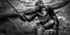 Ape was watching a Carpenter