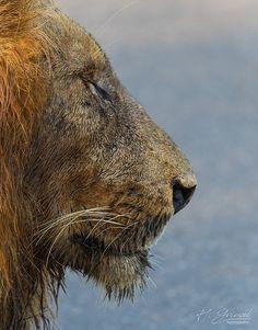 Lion Side On, Kruger National Park, South Africa