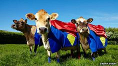 This is what they did to the cows in Jersey (Henry Cavill's home) for the premier of Man Of Steel.