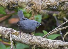 Paramo tapaculo (Scytalopus opacus) is a species of bird in the Formicariidae family. It is found at altitudes of 2,600 to 4,000 metres (8,500 to 13,100 ft) in the Andes of northern Peru, Ecuador and southern Colombia (Cordillera Central).
