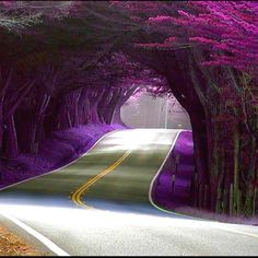 Tree Tunnel, Portugal Wow apparently I live in the wrong country! I want a purple tree tunnel! Oh The Places You'll Go, Places To Travel, Places To Visit, West Coast Usa, East Coast, Pacific Coast Highway, Tree Tunnel, Tunnel Of Trees Michigan, Purple Trees