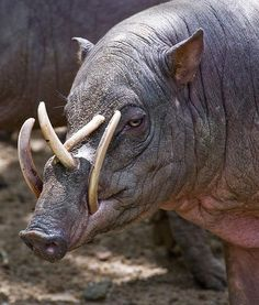 BABIRUSA    Family:Suidae    Habitat: Along the river banks of tropical rain forests    Fun Fact: If the Babirusa did not grind down its  tusks, they would grow to the point of penetrating the animal's skull.