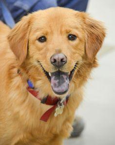 Golden retrievers adoption ny