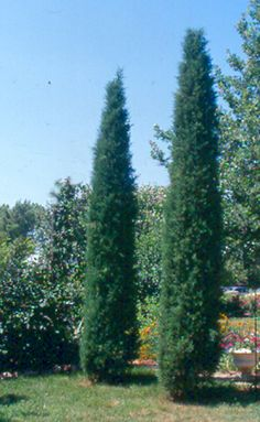Taylor Juniper ~ evergreen tree ~ wide x high ~ Planted close together, they make a great sound barrier and serve as a living 'fence' between lots. Not as narrow as Skyrocket