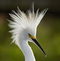Snowy Portrait by PictureOnTheWall, via Flickr Snowy Egret