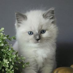 Baby photo of our new stud kitten which we are collecting from holland today x he is a blue mitted ragdoll