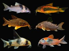Tropical Freshwater Fish, Tropical Fish, Small Catfish, Cory Catfish, Fantail Goldfish, Tetra Fish, Drawing Cartoon Faces, Marine Fish, Angel Fish