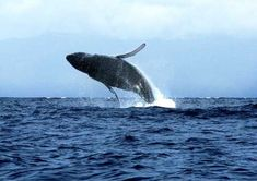 Whale Watching tour in Costa Rica Whale Watching Season, Whale Watching Tours, Costa Rica, Gulf Of Alaska, Maui Hotels, Humpback Whale, Hawaii Vacation, Hawaiian Islands, Best Vacations