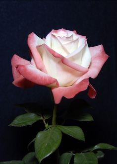Hybrid Tea Rose 'Gemini'