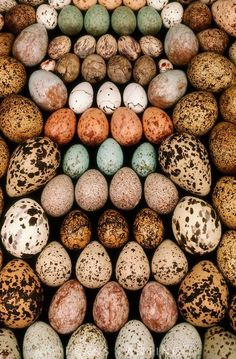 A spectacular bird egg collection from the Western Foundation of Vertebrate Zoology in Los Angeles, California. Photo by Frans Lanting. Frans Lanting, Egg Nest, Vertebrates, Chicken Eggs, Farm Chicken, Bird Watching, Bird Feathers, Beautiful Birds, Bird Houses