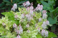 Tiarella Mystic Mist in bloom in spring . Shade Plants Container, Zantedeschia, Shade Garden, Mists, Bloom, Herbs, Spring, Flowers, Gardens