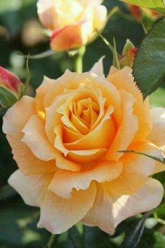 Hermosa rosa...