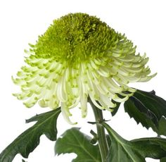 Chrysanthemum from http://www.justchrys.com The beauty of colours and shapes with Chrysanthemum flower arrangements