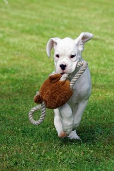 White Boxer - This is what I want!
