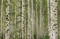 Wallpaper Birch Trees.